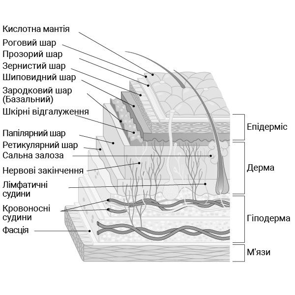 структура шарів шкіри